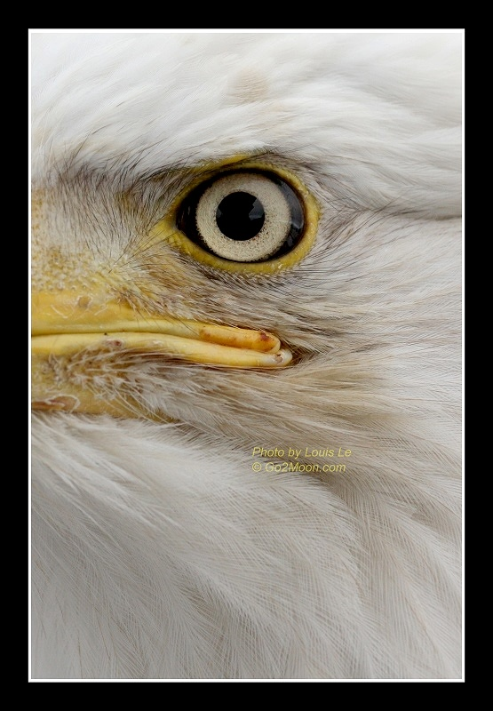 Bald Eagle Abstract Art