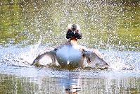 Grebe Splashing