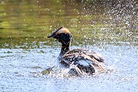 Grebe Water Splash