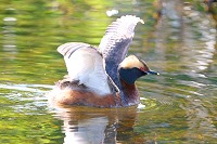 Grebe Open Wings