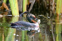 Grebe with Egg Shell