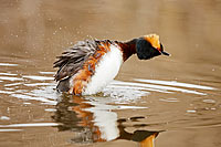 Horned Grebe Body Shake