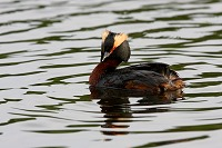 Horned Grebe in Alaska