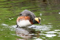 Horned Grebe Shaking