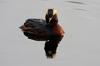 Picture of Horned Grebe