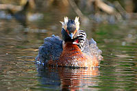 Horned Grebe with Chicks