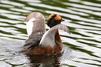 Grebe Ballet Dancer