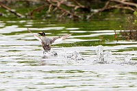 Grebe Take Off