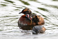 Feeding Grebe Chicks