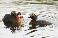 Horned Grebe Feeding Chicks