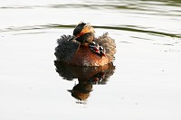 Grebe Chicks Ride on Back