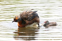Grebe Arranging Feathers