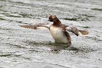 Horned Grebe Open Wings